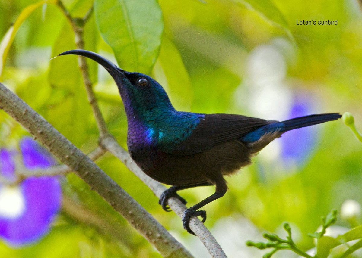 #LotensSunbird #lensingwild #birdwatching #bird #birdphotography #BirdsOfTamilnadu  Loten's Sunbird  What we see depends mainly on what we look for. pic.twitter.com/NifWZWMuB3