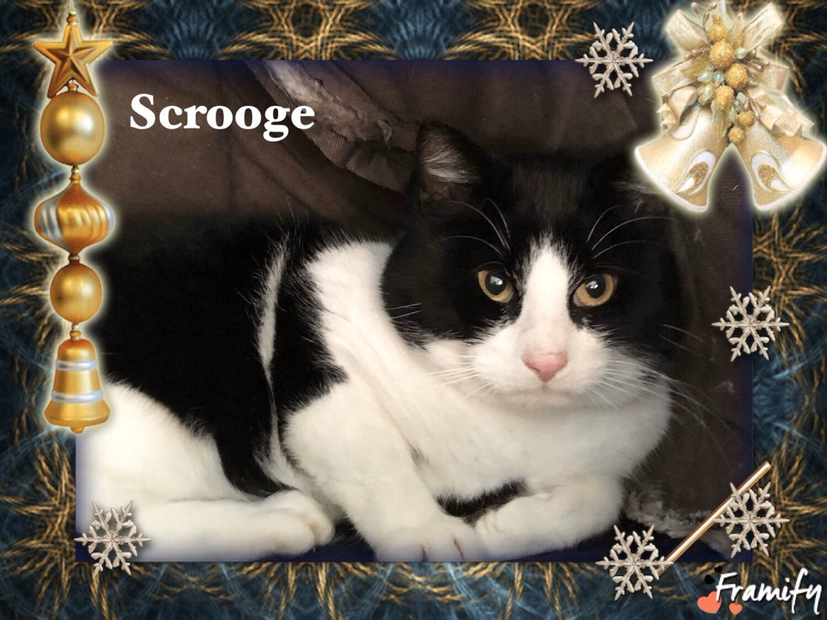 Through door number 24 on our #AdventCalendar is new arrival Scrooge. He's wary of his new surroundings at the moment, after some reassurance, tlc and neutering he'll be ready to find his new home in the New Year  <br>http://pic.twitter.com/obwTQUOcoP