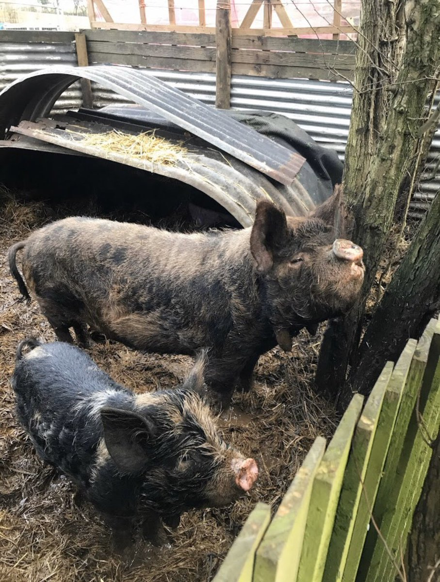 This friendly mother and daughter Kunekune pig duo were rounded up today by ACO Ladd, ACO Standen and Inspector Edwards after their owner sadly passed away. They have been taken to @TheArkRSPCA to be wrapped up nice and snug in a straw(!) blanket just before Christmas 🎄 #68