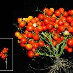 SFの世界がすぐそこまで来ている・・・?!宇宙船内での栽培を目指したトマトが開発される!