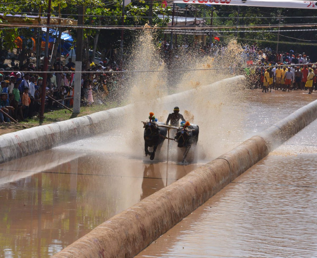 """Glimpses from historic & pride karnataka sport """"Kambala"""" inaugural event at Moodabidri from Sh @BSYBJP , a thanksgiving gesture to the gods for good harvest and rain.  @CMofKarnataka also unveiled statue of Rani Abbakka, tuluva queen of ullal who fought the Portuguese"""