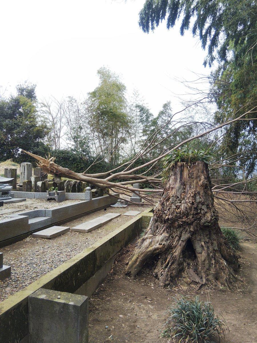 お墓の仏様がちょうど幹に挟まってしまったのでレスキュー台風後に折れてぶら下がっていた枝が落ちてきてお墓にあたってしまい、仏様を巻き込み気にめり込んで取れなくなってしまったので少しずつ切りレスキュー、枝もすべて片付け最後にブロアーで綺麗に