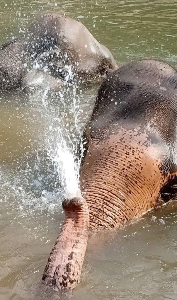 #Mali enjoy herself  water spray playing in the river.  http://www.elephantpark.com  #ElephantHavenThailand , #Kanchanaburi #AsianElephantProjects #SaddleOffProjects #LoveandBananas #ElephantNaturePark  @lek_chailert @elephantnaturepark @saveelephantfoundation @tri333 @nuisaranpic.twitter.com/5YVlZnbp9W
