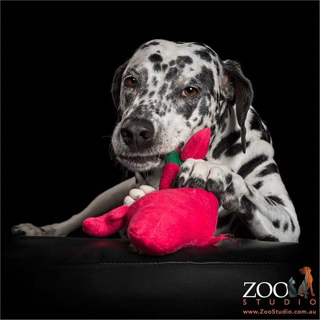 'Time To Play With All Our New Toys!' #zoostudiophotos #petphotography #professionalpetphotography #dog #dogs #dogstagram #dogoftheday #doglovers #dogsofinstagram #dalmatian #dalmatians #dalmatianlovers #dalmationsofinstagram #timetoplay #newtoys #timetoplaywithallournewtoyspic.twitter.com/HGQcnQdVx0