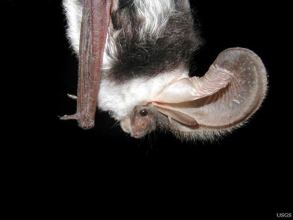 BAT #546 The spotted bat (Euderma macalatum) has huge ears! (Photo: Paul Cryan)