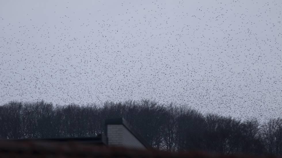 Nach 145 Minuten langer intensiver Beobachtung haben 2 Ornithologen den #Bergfinkenschwarm über #Båstad auf 7 Millionen Bergfinken geschätzt. 22.12.19 pic.twitter.com/m9LmaETy3n