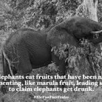 Image for the Tweet beginning: Happy #EleFunFactFriday! Some elephants eat fruits