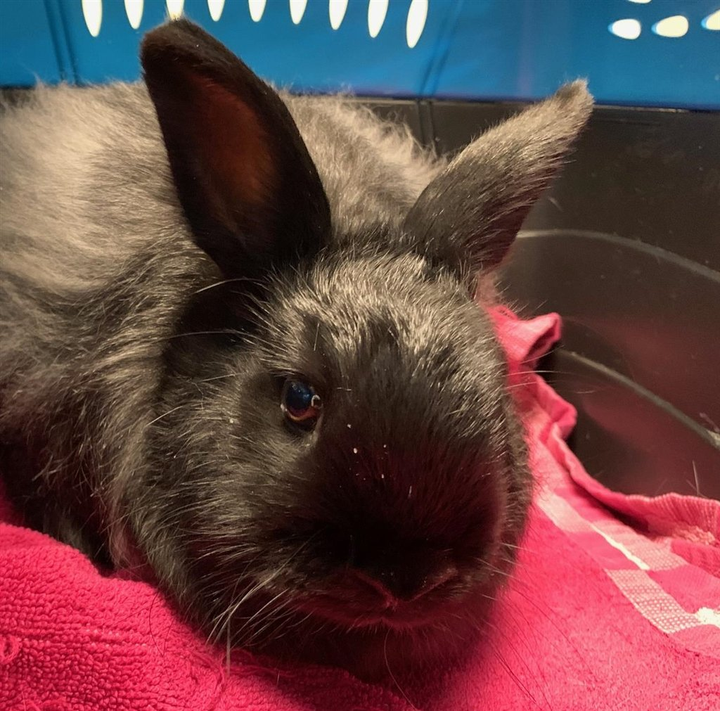 #Stormie  #643554 #Rabbit  Jersey Wooly Female  4 months SPAYED/NEUTERED: Yes I'M CURRENTLY LOCATED AT: San Diego Campus 5500 Gaines Street #SanDiego, CA 92110 619-299-7012 info@sdhumane.org https://twitter.com/AdoptSanDiegoHS/status/1215159760741335040…pic.twitter.com/g9g0epcWJy