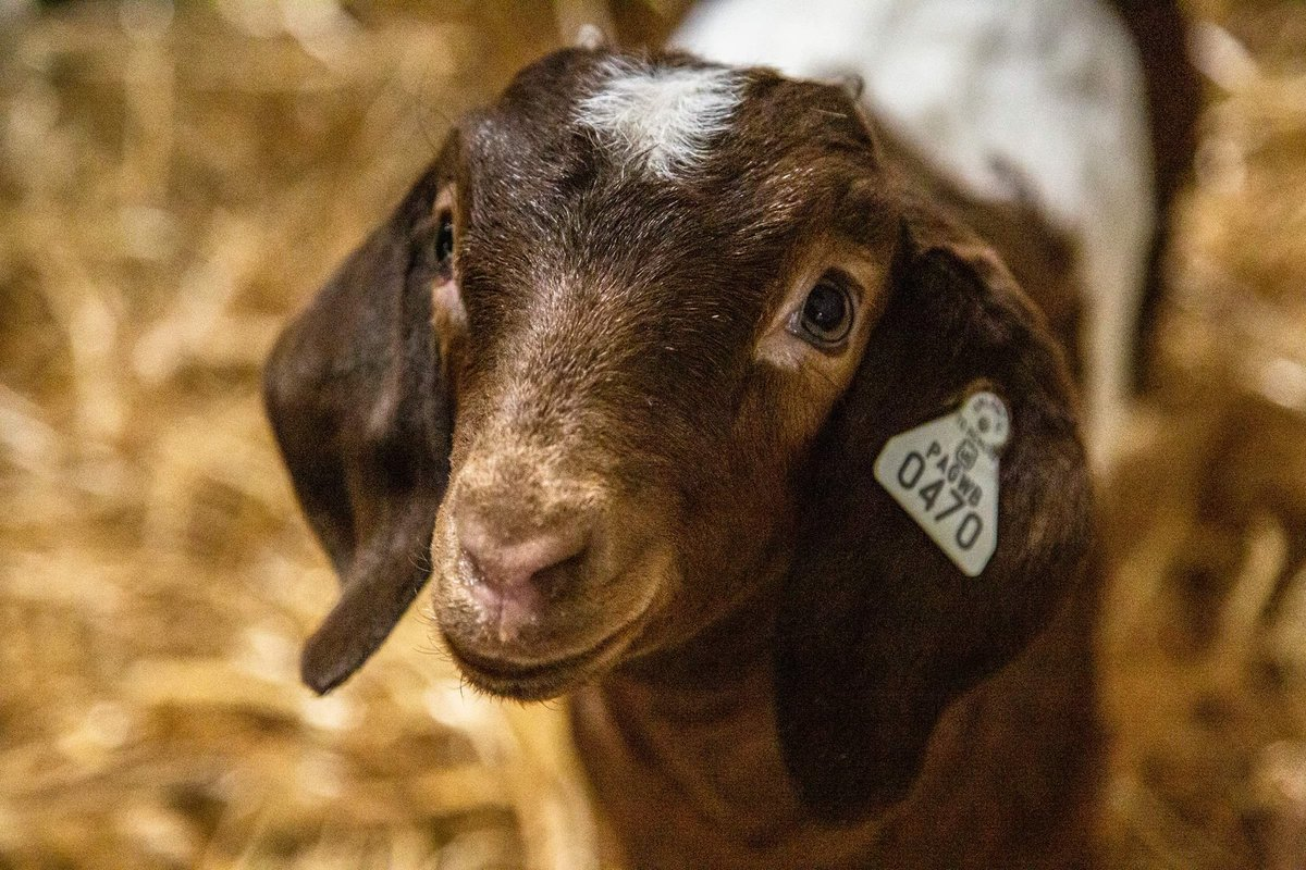 You've heard of puppy dog eyes, but have you heard of baby goat eyes? #PAFS2020