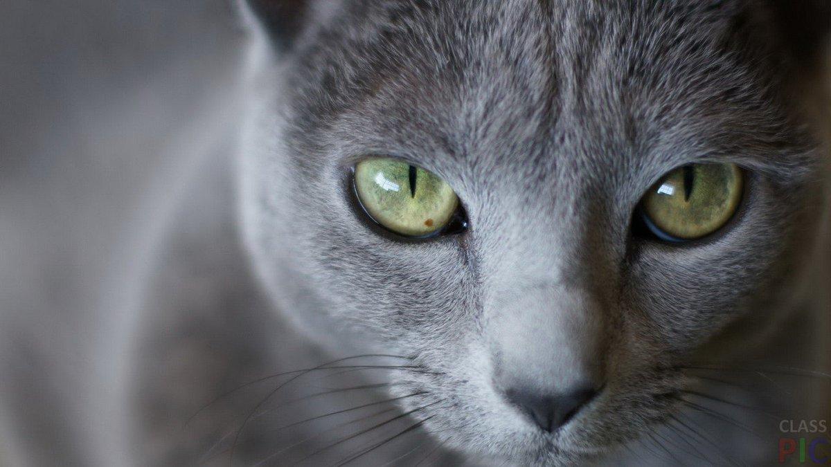 russian blue cat - HD2048×1366