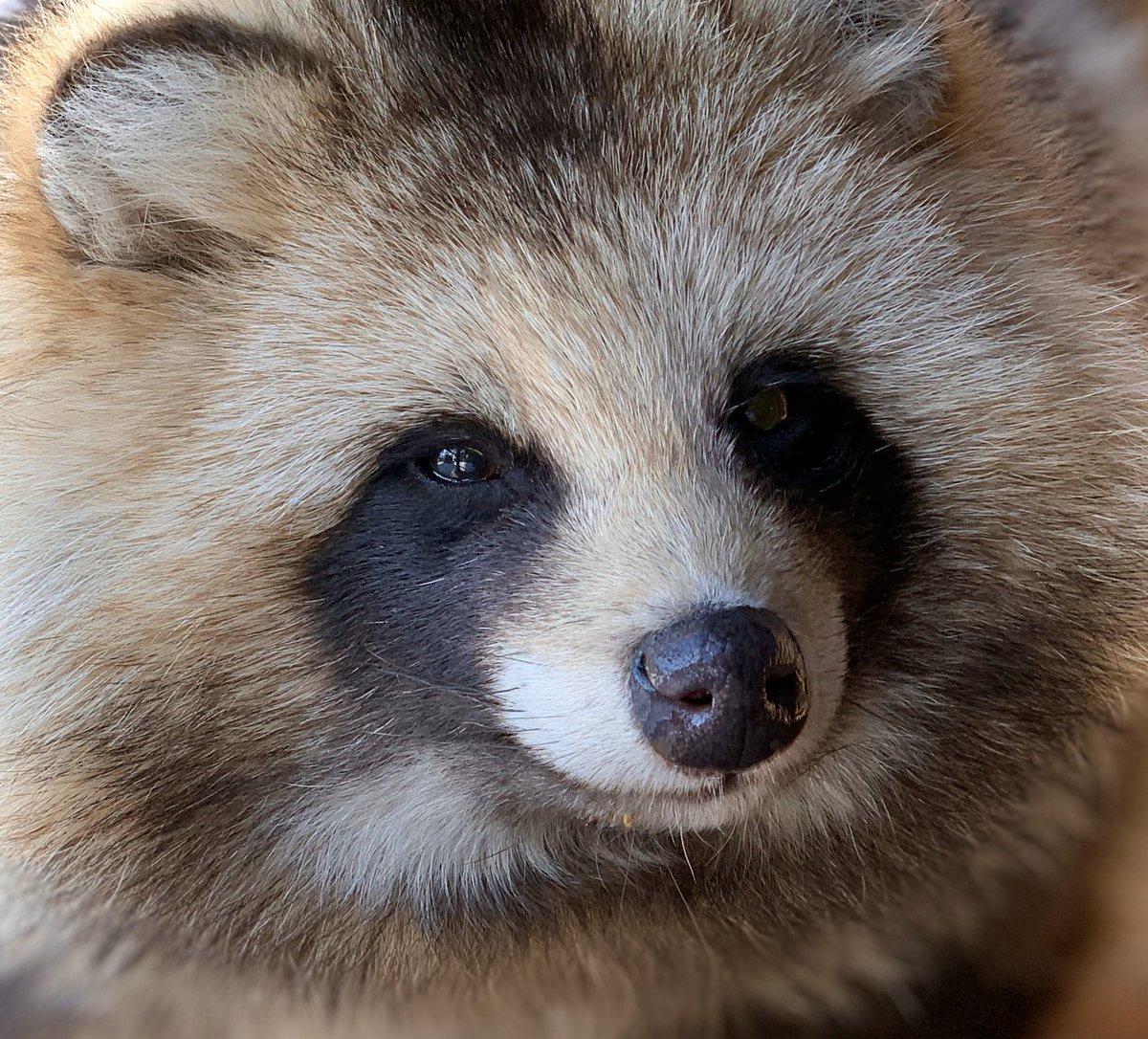 あんシロ交互にトコトコとblog()#おびひろ動物園 #エゾタヌキ#obihirozoo   #raccoondog#今日のたぬき  #tanuki