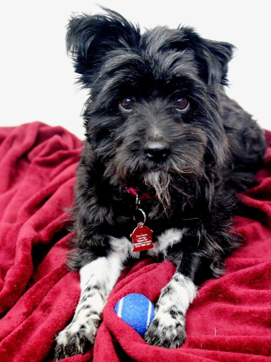Meet Velvet! She's a 7-year-old Terrier Mix who gets her name not only from her fur but her soft heart  Adoption Hours are Fri-Sun, 11am-5pm #berkeleyhumane #adopt #adoptadog #eastbay #eastbaydogs #bayarea #bayareadogs #eastbayrescueanimals http://www.berkeleyhumane.org/post-02/4454/Velvet…pic.twitter.com/olBHR6RVn1