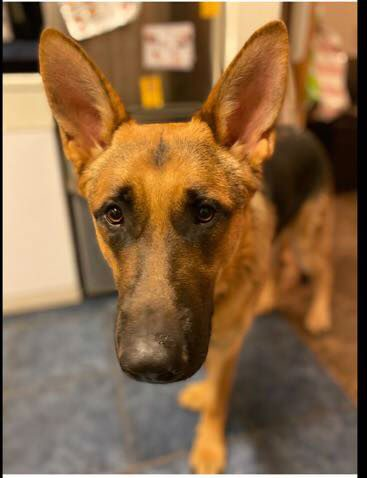 Stanley is just a year old and he can live with older kids and other #dogs but needs a home that can give him the time and exercise he needs please #germanshepherd #Essex http://gsrelite.co.uk/stanley/