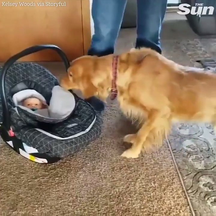 Family dog has an adorable reaction to new baby