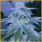 Image for the Tweet beginning: Strain of the day: #TrueColours!