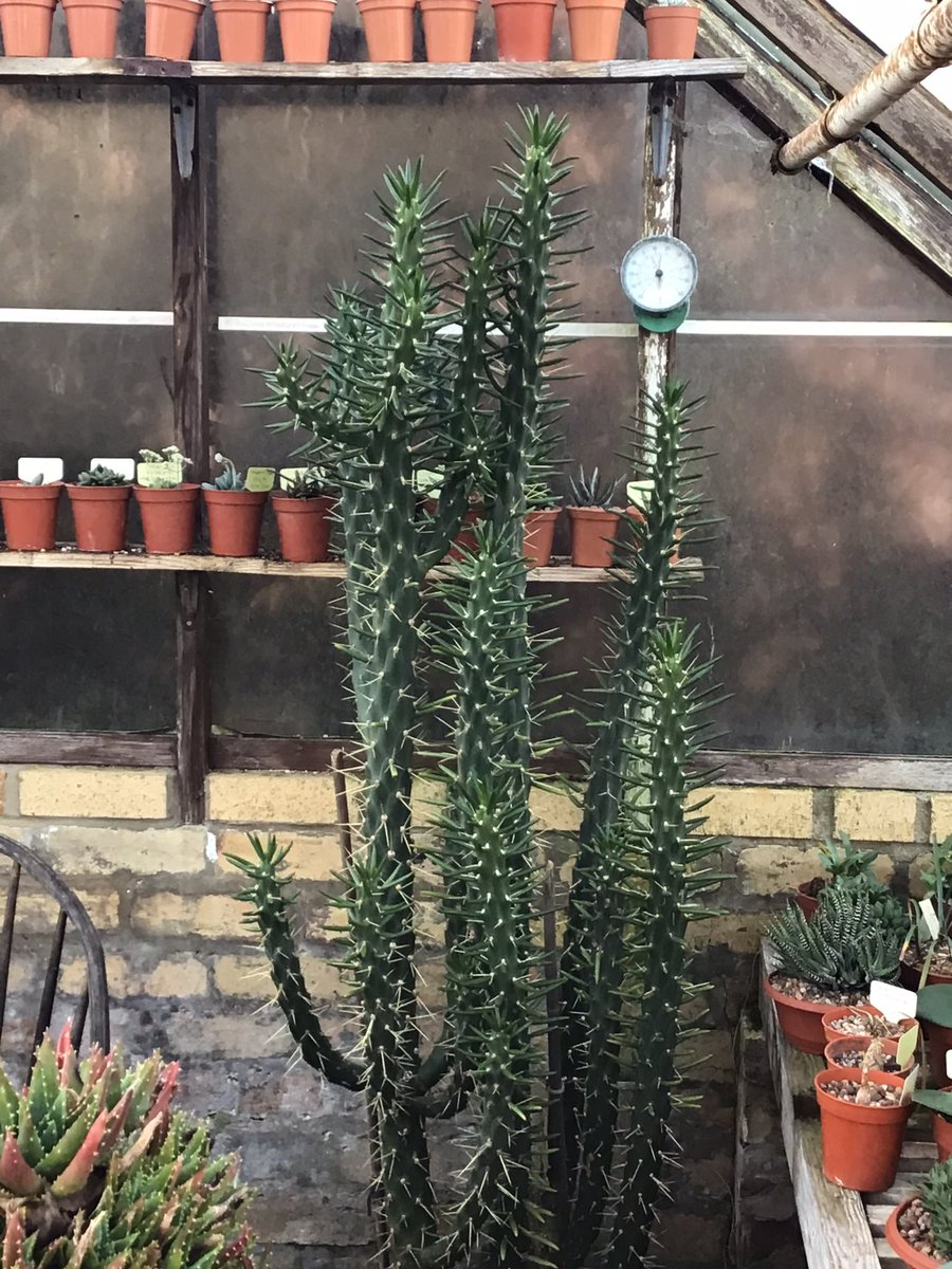 #Austrocylindropuntia subulata.  Not may people grow these and if you have one, you'll soon find out why! Rapid growth and long needle-sharp spines require a special love #BCSS #CacusSucculent #Kirkstonebotanica #Opuntiacollectionpic.twitter.com/X51FlRWyou