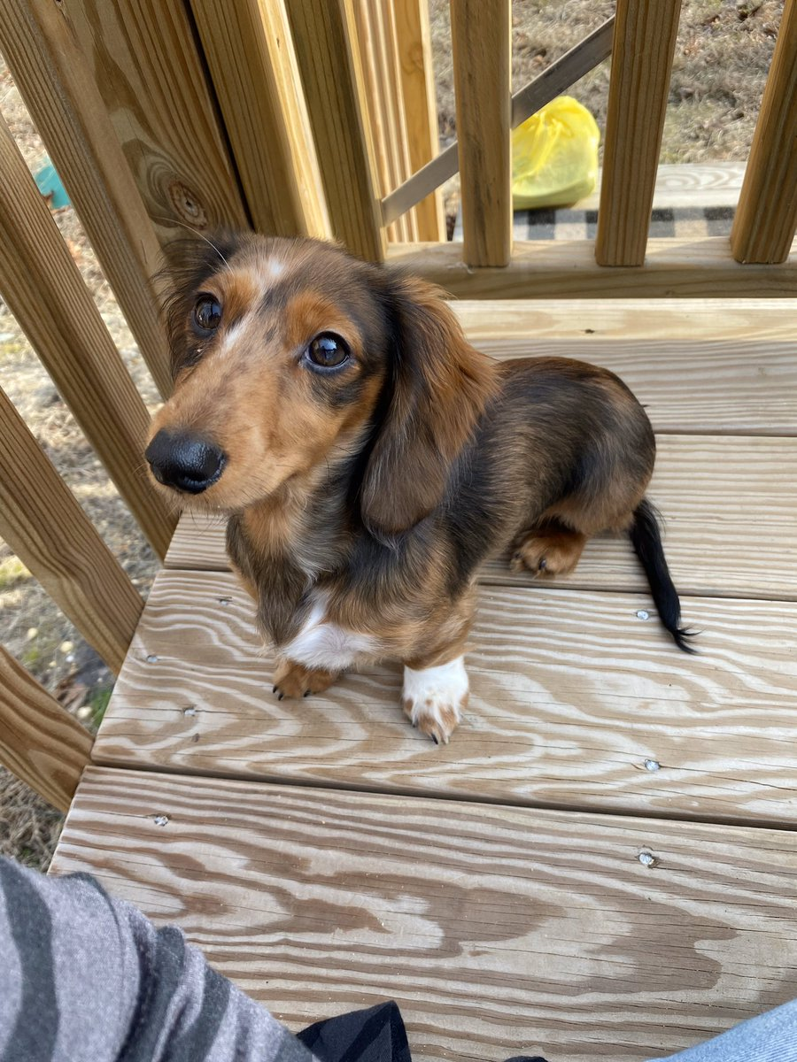 @DrPol Our new addition. What would @DrPol name her? Mini long haired dachshund🐾🐾