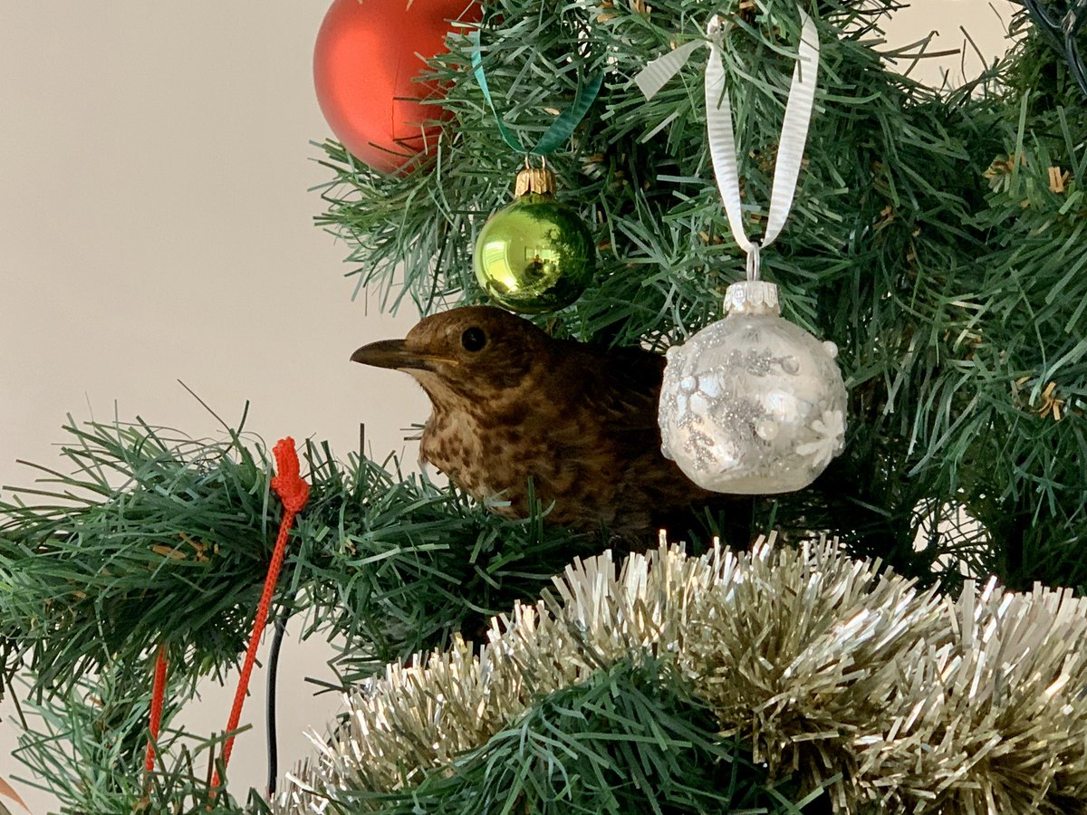 I got a real bird sitting in the Christmas tree this morning but I don't know how to get her back outside. #christmas #birds #birdsofinstagram #birds_captures #cuteanimals #cute #birdphotography #birdwatching #birdwatchingphotography #christmastree #christmas2019 #christmastimepic.twitter.com/okLZVnUTu3