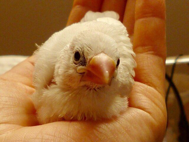 由来 文鳥 の 文鳥の日(10月24日 記念日)