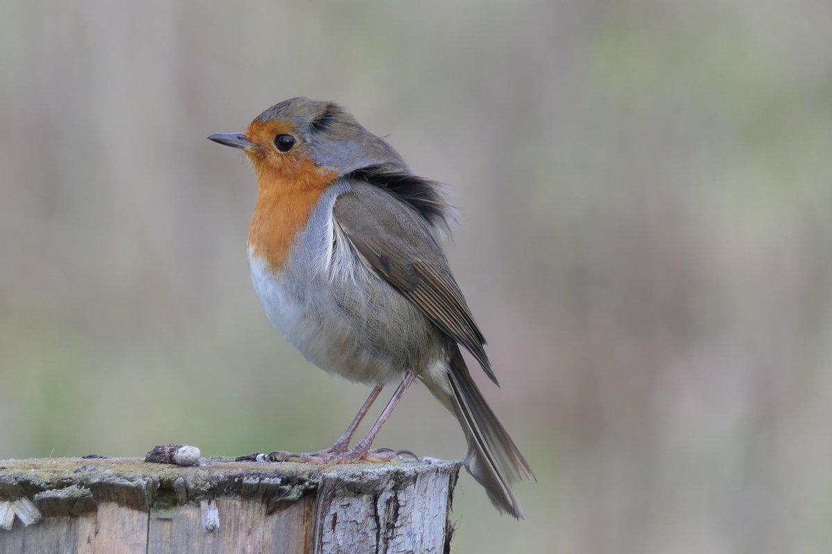 Happy New Year             #Robin  @vogelnieuws @natuurweetjes @volgdenatuur @waarneming  @denatuurin_nl @vogelskijken @natuuronline @waarneming @sovon  #vogelskijken #birding @deeldenatuur @dutchbirding  @planetbirds  @visittwent @todaysbird<br>http://pic.twitter.com/v0LYDnJFVB
