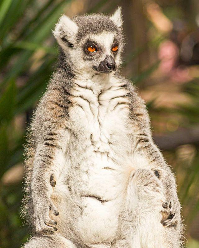 A shot from a recent visit to the Currumbin Wildlife Sanctuary.  #currumbinwildlifesanctuary #lemursofinstagram #animalshots #icu_aussie #queensland . . . . . #aussie_captures #ig_discover_australia #ig_aussiepix #discovergoldcoast #goldcoasttourism #can… https://ift.tt/2ZEyKvipic.twitter.com/nEEE95LeYS
