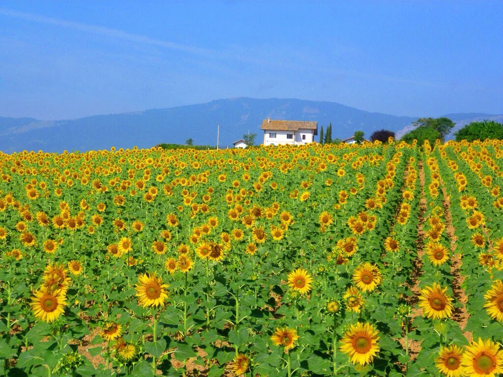 And we enjoy the sun drenched countryside. Come to the real Italy! #absolutelyabruzzo #absolutelyabruzzotours #abruzzo #abruzzi #italy #italianamerican #sunflowers #bespoketours