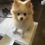 迷子犬(ポメラニアン)メスを保護しています。お心当たりある方はご連絡お待ちしています!