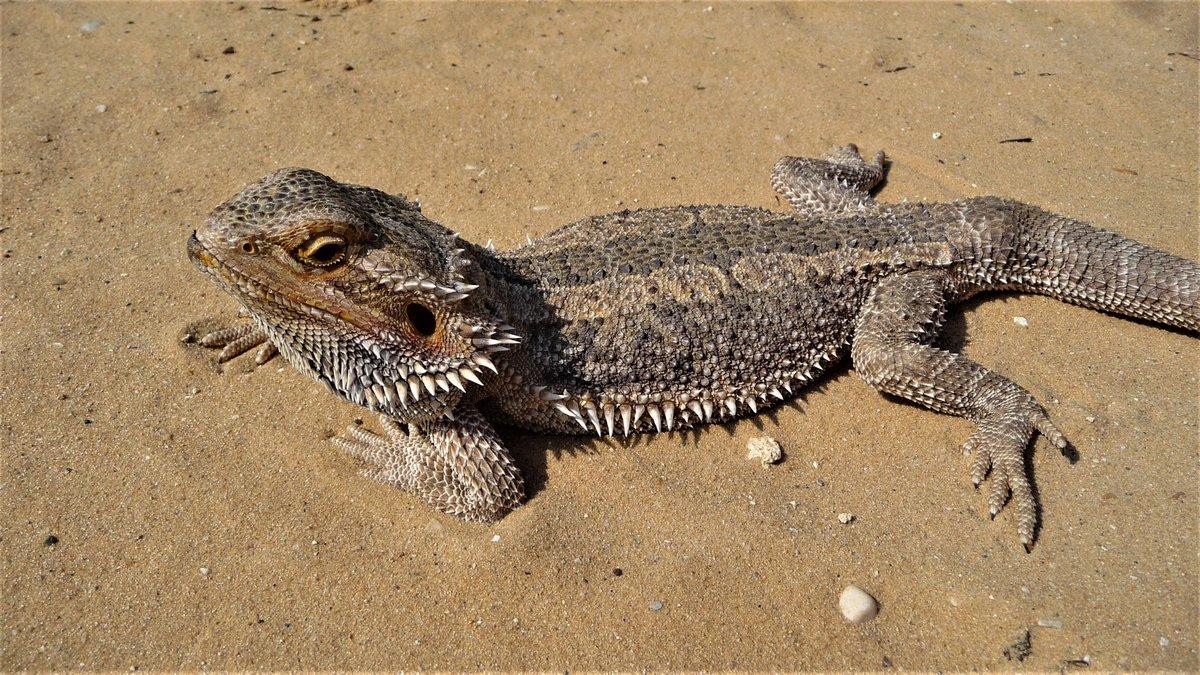 Baardagame - Meneer mamma http://bit.ly/2SNiQNP  Sommige exemplaren van deze hagedissensoort zien eruit als een man: groot met een lange staart. Ze zijn ook dapperder en beweeglijker dan wijfjes. Maar...  #Pogonavitticeps#baardagamen#hagedis #lizard #lézard #Eidechse #lagartopic.twitter.com/BrWE4cKfPU