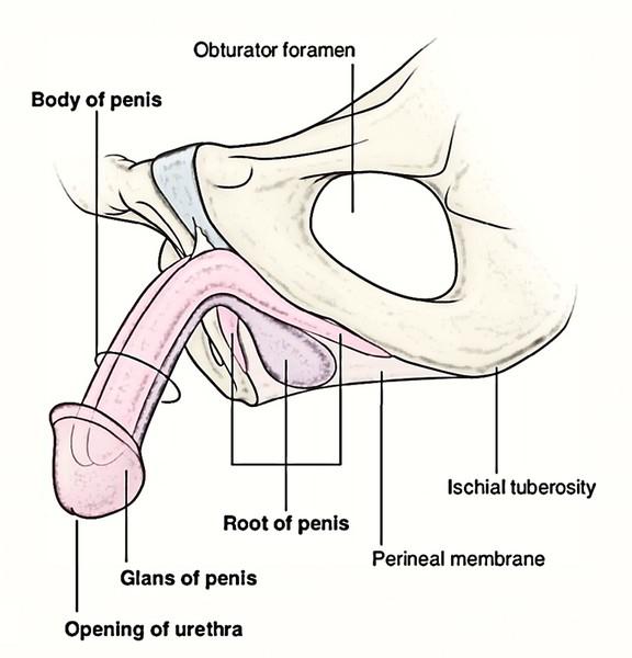 Vaginal corpus cavernosum