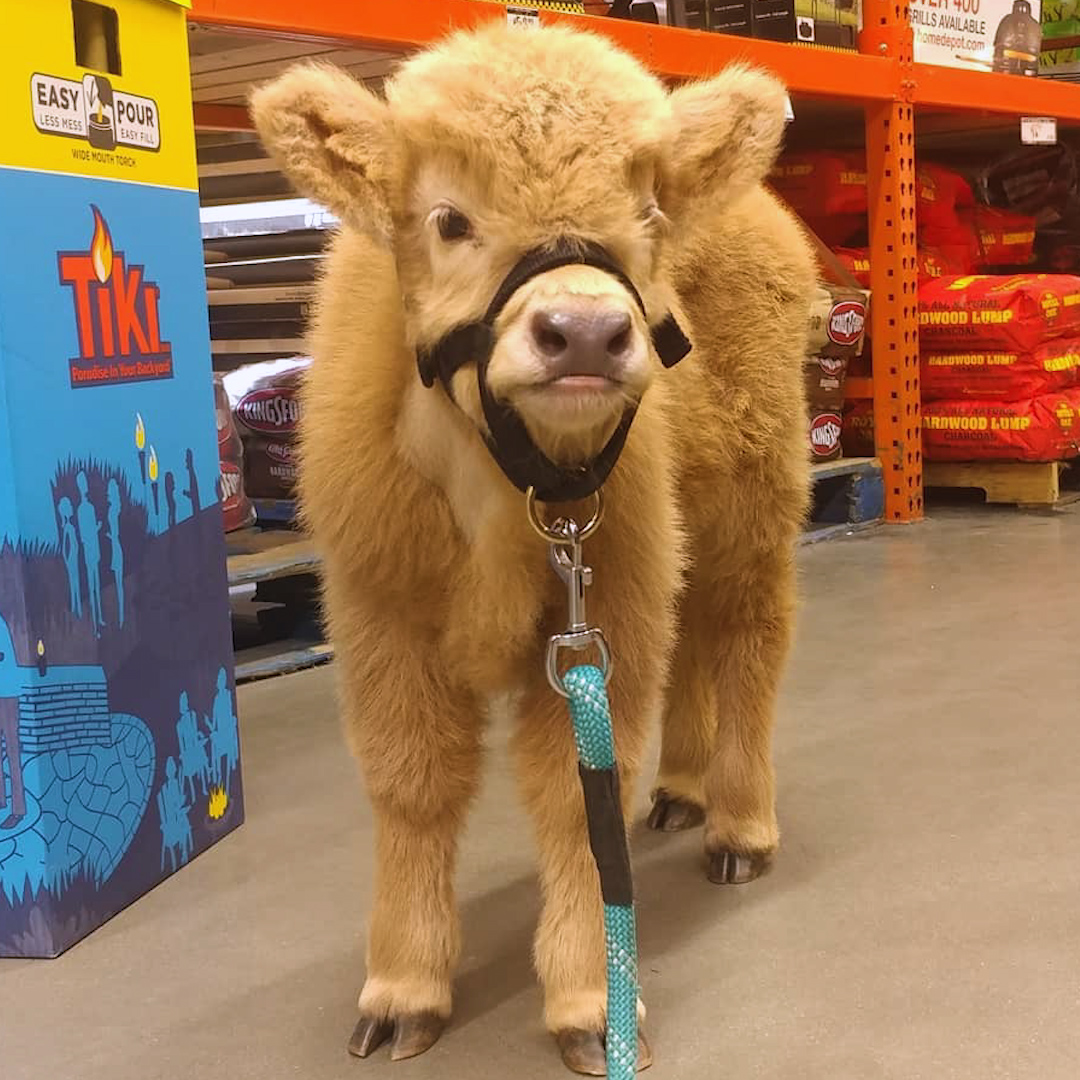This fuzzy little cow follows his mom everywhere 😍