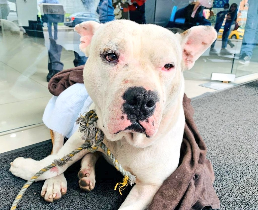 🚨¡NO MÁS ANIMALES ATROPELLADOS!Con el servicio de Urgencias Veterinarias atendimos un perro embestido por vehículo, en el barrio Chicó Norte de Chapinero. A esta hora es intervenido en clínica.¡Conduce con los ojos bien puestos en la vía, un animal puede pasar!❌💥🐕