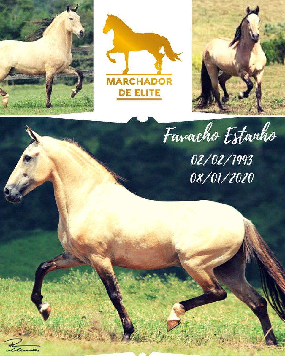 Se tem um cavalo que merece o título de Marchador de Elite é esse aí  Favacho Estanho  Cumpriu seu papel, deixou seu legado e agora descansa em paz!  #favacho #favachoestanho #linhagen #raça #mangalarga_marchador #mangalargamarchador #marchadordeelite https://www.instagram.com/p/B7Eid4cHd1D/?igshid=rvpq0y3tnim4…pic.twitter.com/dVI4KRDcre