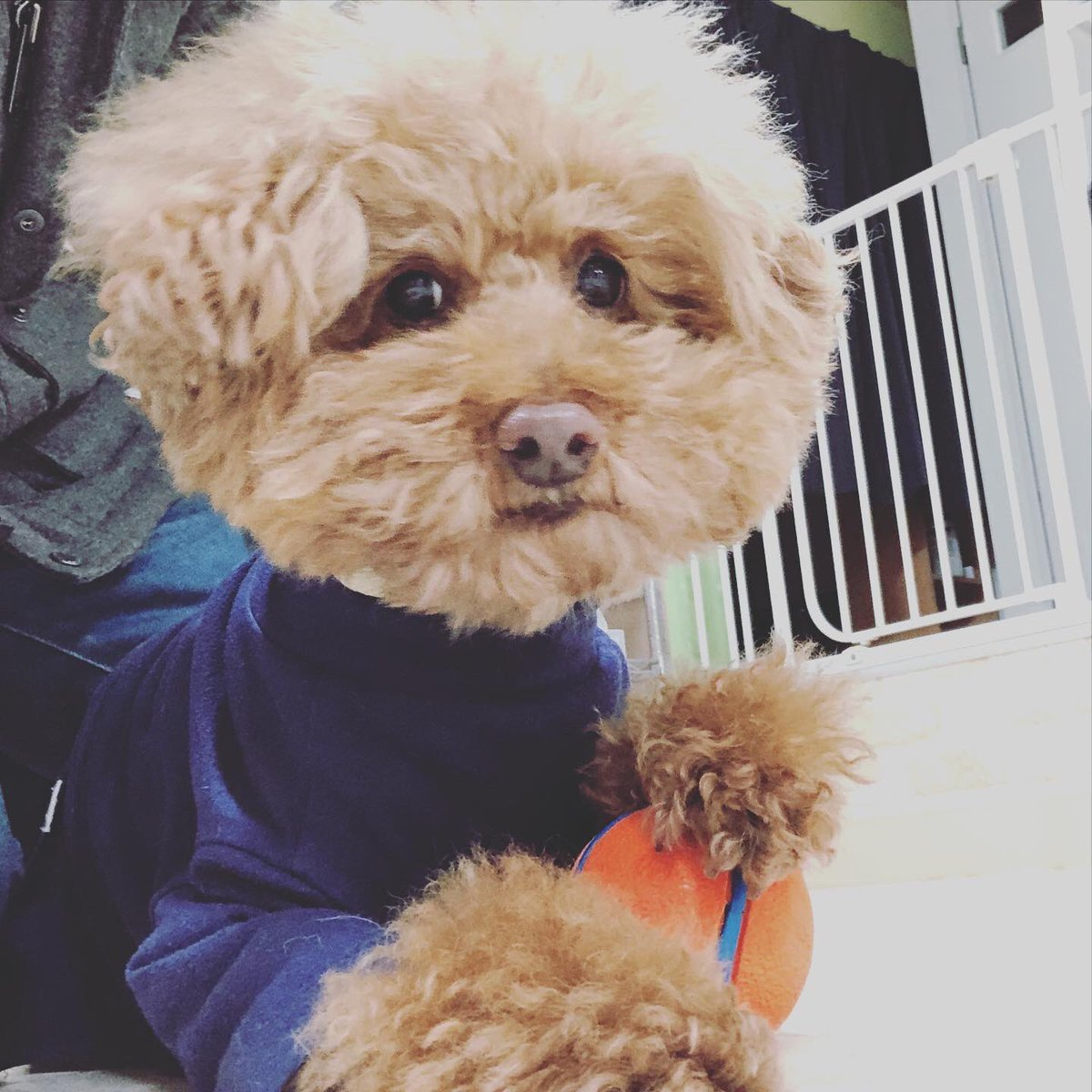 相模原店にお泊り中のパピ、空、もんちゃん今日も伸び伸び過ごしてます♫ パピちゃんはボールをガッチリホールド。 ポーズも決まってます♫  #はっぴーているず #犬の保育園  #犬のホテル  #相模原 #いぬら部  #トイプードルpic.twitter.com/imZ6jQzDRA