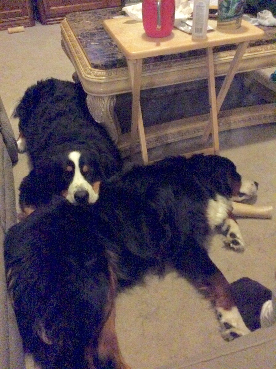 The pictorial definition of Best Friends. #bernesemoutaindogs #siblings . #bernesemountaindogs #bernesedaily #bernesemountaindoglovers #dog #bernese #bmd #berner #bernesemountaindog #berneselovecentral #berneseoftheday #bernesepuppy #bernerlove #bernesedaily #berneseofinstagrampic.twitter.com/3Q7bZ2XdBL