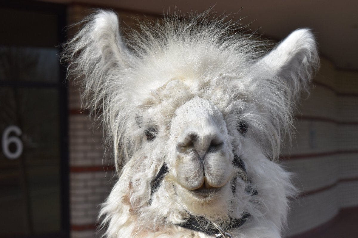 "Caesar The No Drama Llama #SalemForFloyd on Twitter: ""… """