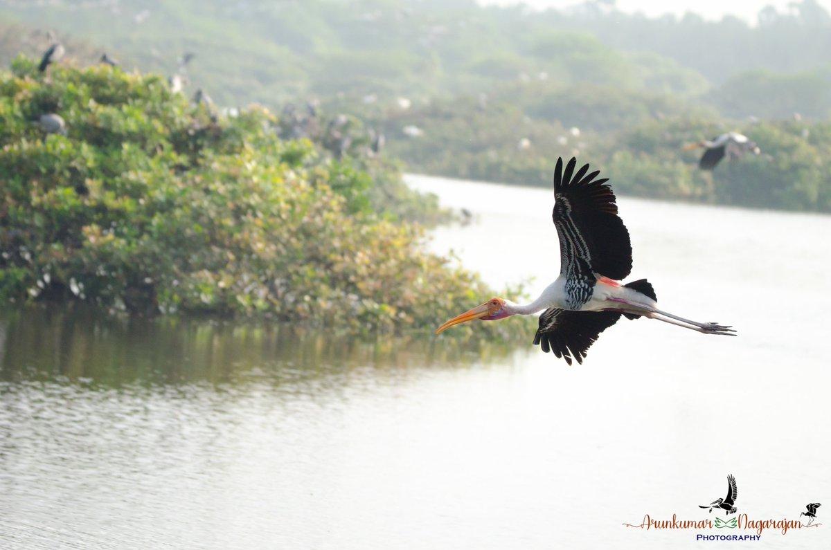Painted stork!  #birding #birdphotography #nature #storks #paintedstorks #wildlifephotography #wildlifephotographer #natgeo #bbcearth #birdsinflighth #vendathangal #tamilnadu #birdsoftwitter #birdsofchennai #birdsoftamilnadu #wetlands  #2020challenge #day4 #potd #colorsofnaturepic.twitter.com/XGFtzegw7s