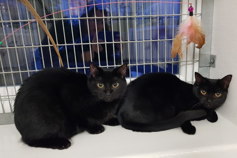 Pete Wedderburn On Twitter These Two Beautiful Black Cats Are Male And Female Siblings Https T Co Fyunachxif