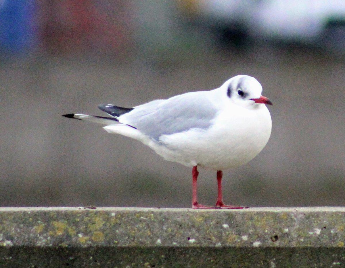 RT @quaker2607: Gulls at Gorleston @SupportNWT @wildlife_uk @RSPBNorfolkLinc @BirdWatchingMag