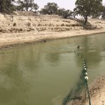 Image for the Tweet beginning: Rescuing Murray Cod near Menindee