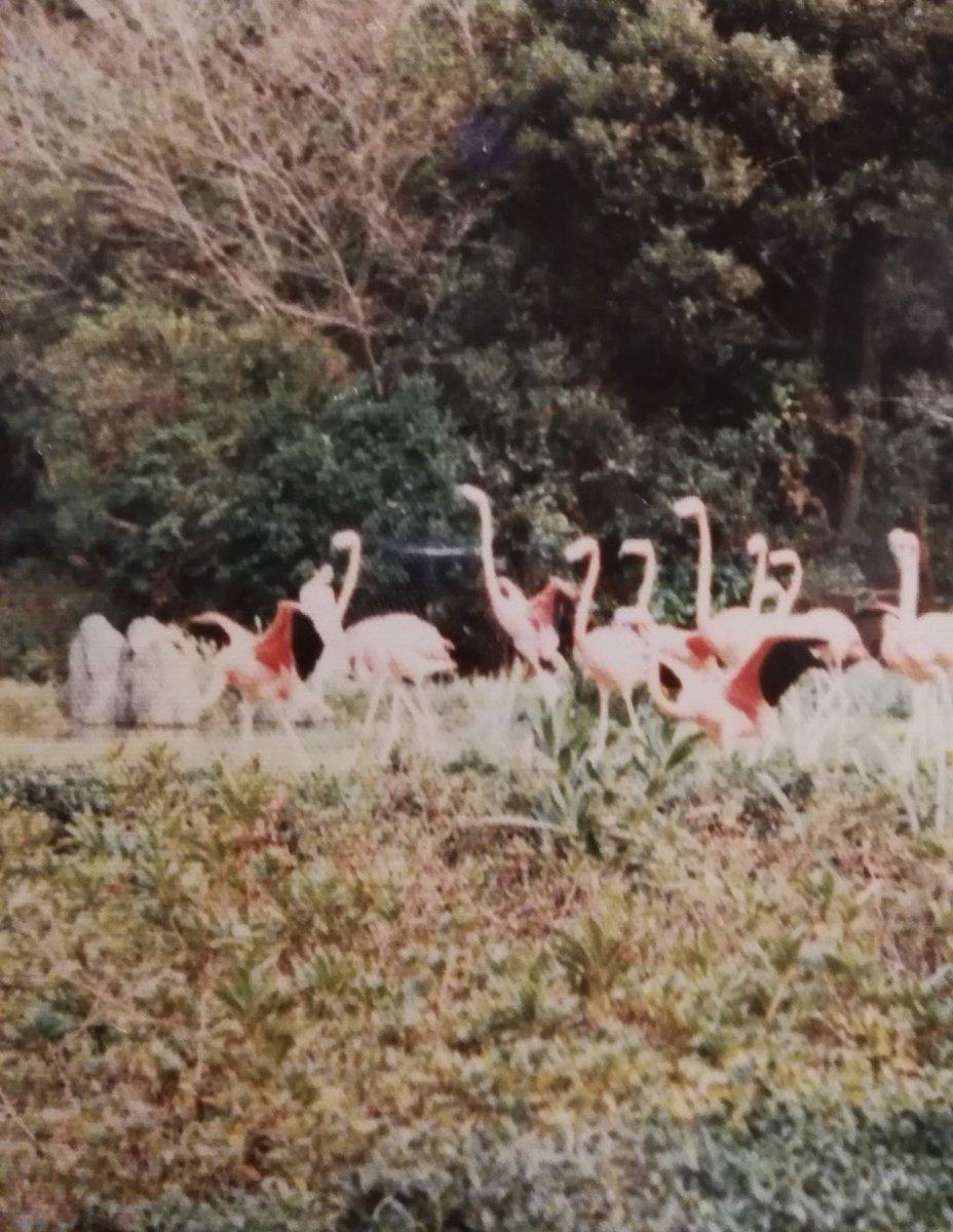 先日祖父の遺品整理していたら、行川アイランドのフラミンゴショーの写真が出てきた。