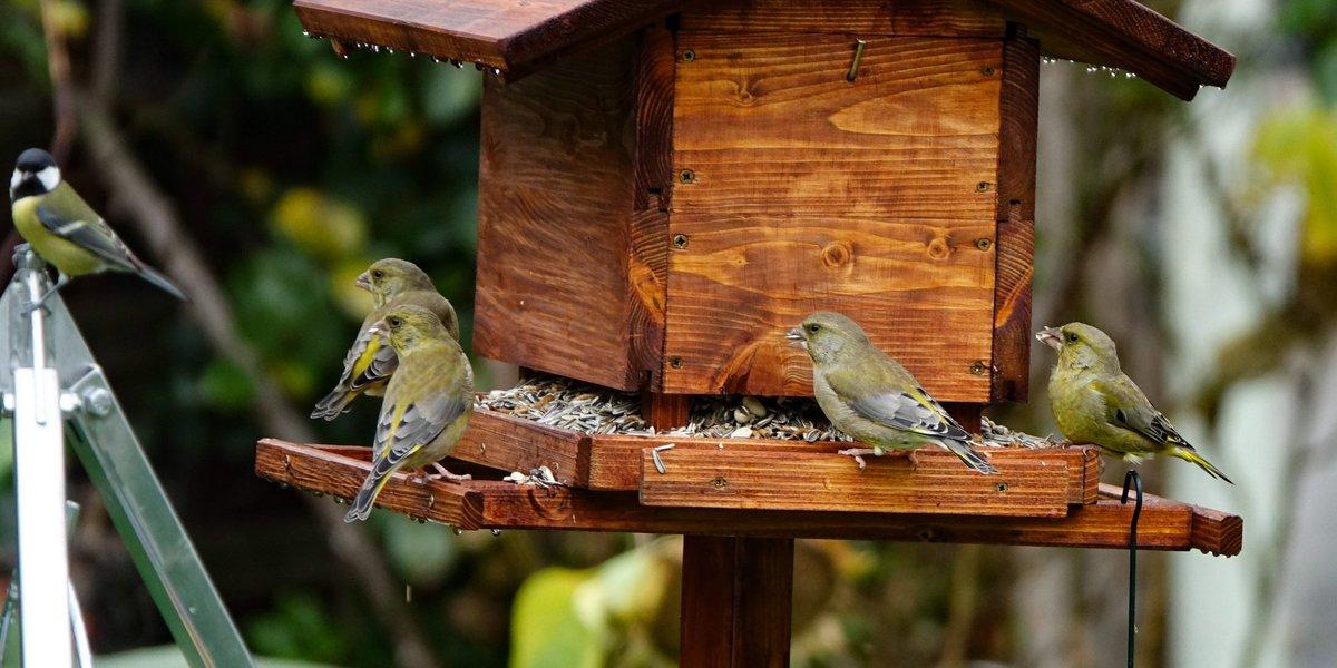 Frage an die Experten: Hatten im Frühjahr/Sommer unzählige Grünfinken. Im Herbst kamen sie nochmal, mit Buchfinken und Bergfinken im Schlepptau. Geblieben sind nur Buchfinken. Wo sind die Grünfinken. Finden sie wg. milden Winter woanders genug/besseres? @mamamofu @MNickel10pic.twitter.com/FiaphKobYA