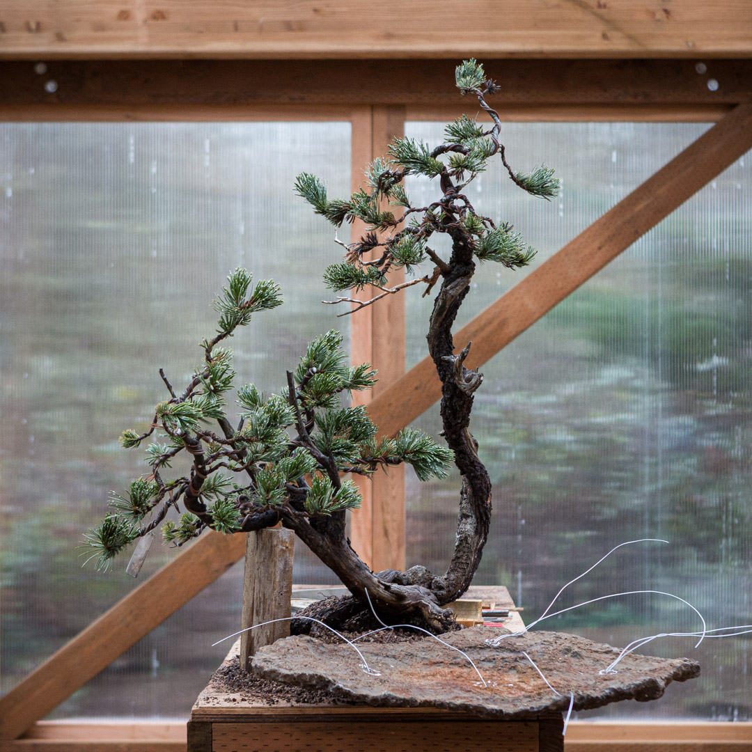 This week on #mirailive: Bristlecone Pine Slab Planting. Build your skills in root work on slabs; explore the horticultural and design considerations necessary for a successful forest composition. Tonight, 6pm PST, live.bonsaimirai.com