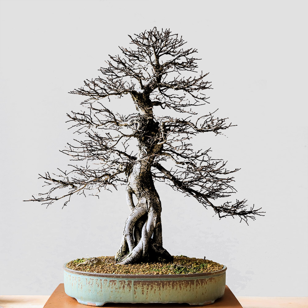 Yugen Bonsai On Twitter It S National Hobby Month Pick Up Something New This And Give It A Try Sculpting Bonsai Trees Is A Great Therapeutic Activity Requiring Focus And Dedication Take Care