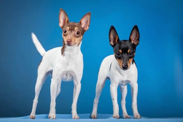 Toy Fox Terrier dlvr.it/RMg0l3