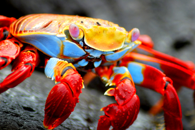 Cua đá đỏ sally lightfoot crab