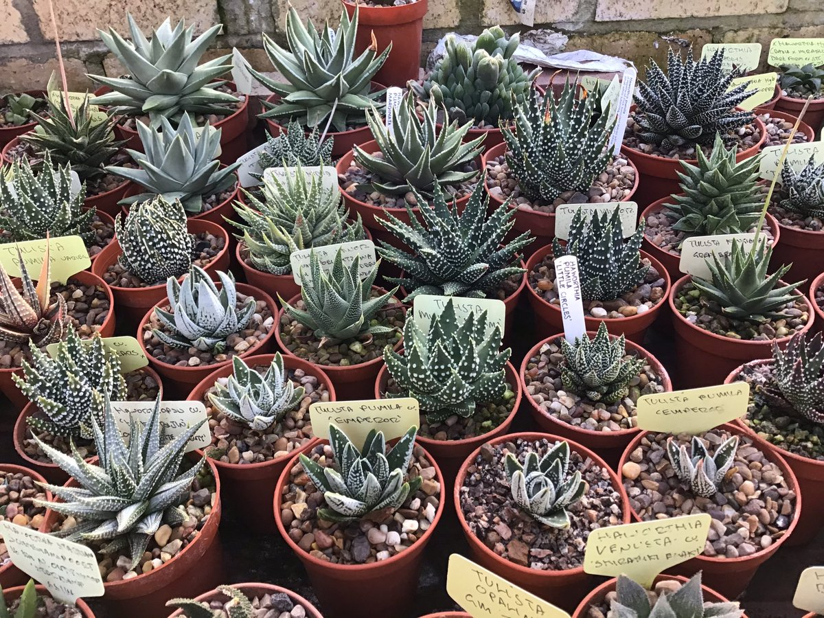 Updated and improved #Tulists family group at #Kirkstonebotanics today#BCSS #CacusSucculent #Kirkstonebotanica #Tulistacollectiom #Haworthiagroup #Aloefamilypic.twitter.com/aOjXQ8ZCtu