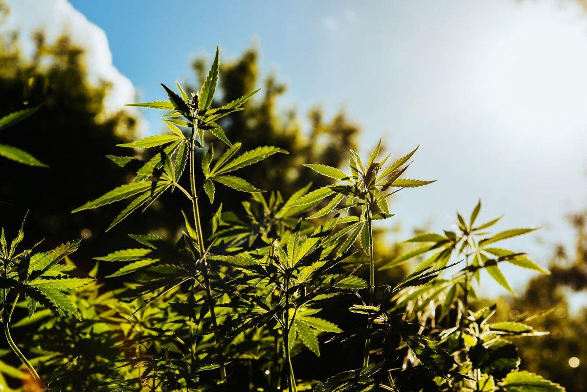 Солнце песок любовь и марихуана выращивать коноплю в украине для себя законно