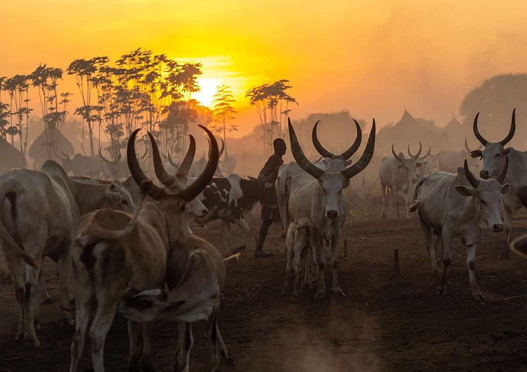 Long horns cows in a Mundari tribe camp at sunset, Central Equatoria, Terekeka, South #Sudan  Photo: @ericlafforgue.  #everythingextraordinary #dmafrica  #african_portraits  #the_urbanhistorian  #profile_vision  #stunning_shots #travel #igtravel  #photoofthedaypic.twitter.com/et4joKu3NE