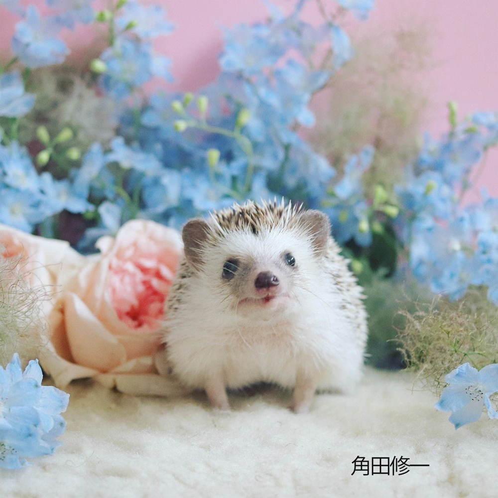 ハリネズミの写真展「ハリジェニック展」東日本橋で、羊毛フェルトやイラストなどグッズ販売も -