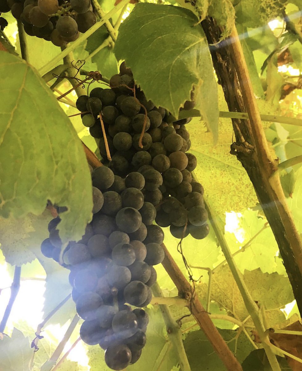 Many types of grapes successfully thrive in the soil across the state. We have what is known as 'cool climate viticulture,' similar to many European, Australian and California growing regions. (📸: @ catcald)